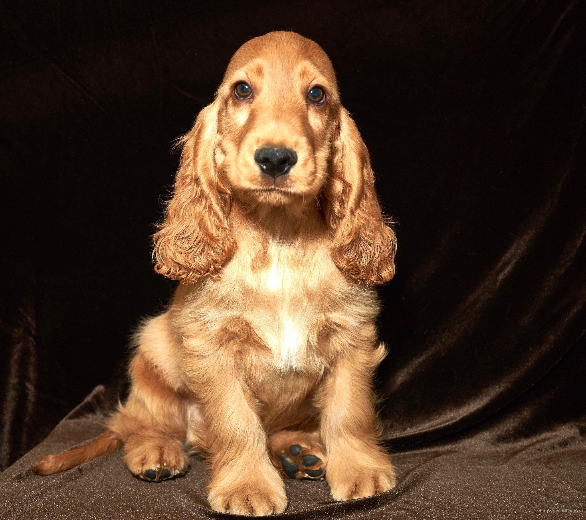 кокер спаниель английский фото щенков